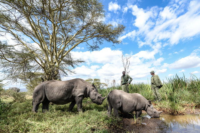 Orphaned baby rhinos seen on August 28, 2014 in Lewa Wildlife Conservancy, Ngare Ndare Forest, Kenya. (Photo by Luca Ghidoni/Barcroft Media)