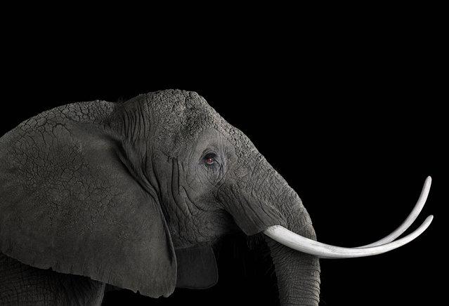 Elephant. (Photo by Brad Wilson/Caters News)