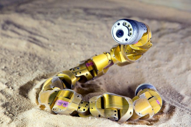 A sidewinder rattlesnake robot is pictured in this undated handout photo provided by Chaohui Gong. Researchers on October 9, 2014 said they conducted experiments to learn precisely how sidewinder rattlesnakes are able to climb sandy hills, then applied the reptiles' repertoire to an existing snake robot so it could do the same thing. (Photo by Chaohui Gong/Reuters)