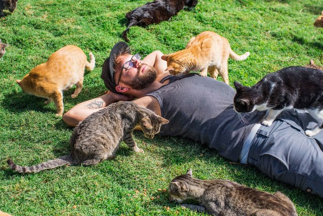 Andrew Marttila, 32, is inspected by rescued cats at the the Lanai Cat Sanctuary in Hawaii. (Photo by Andrew Marttila/Caters News Agency)