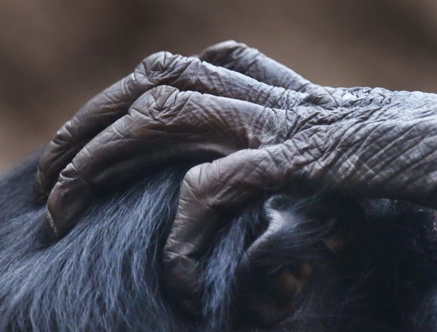The hand of a bonobo ape lies on the head of another ape in the zoo in Frankfurt, Germany, Friday, December 15, 2017. (Photo by v/AP Photo)