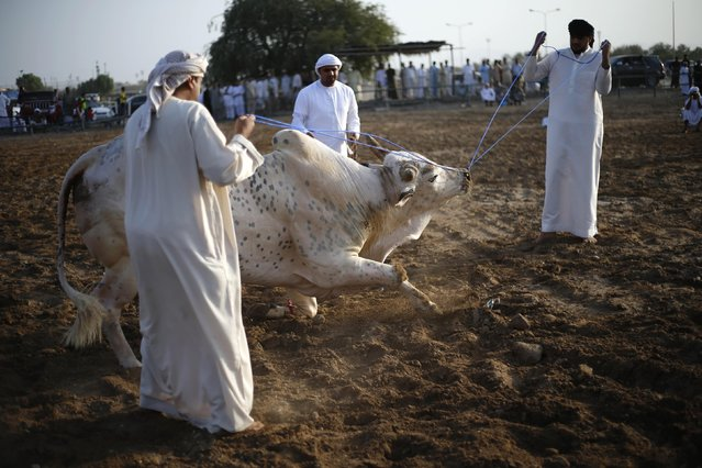 Emirati men pull a bull with ropes during a bullfight in the eastern emirate of Fujairah October 17, 2014. (Photo by Ahmed Jadallah/Reuters)
