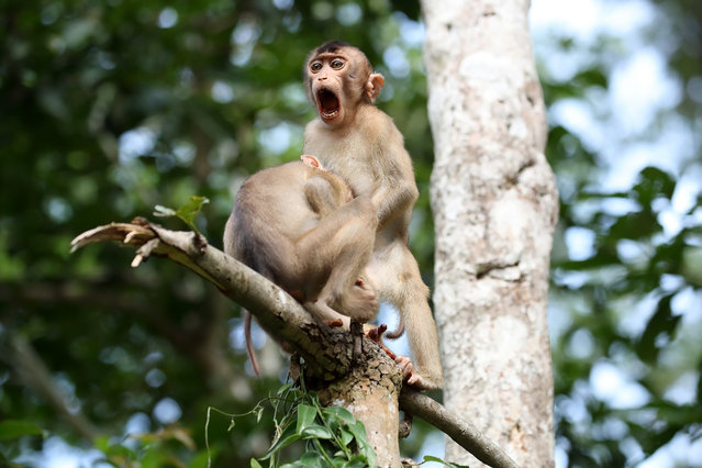 "Monkey business, Kinabatangan River in Borneo, Malaysia. ""While on a trip to Borneo, I had many opportunities to watch monkeys interacting with each other. These pig-tailed macaques showed me a bit more than I bargained for!"". (Photo by Megan Lorenz/Comedy Wildlife Photography Awards 2020)"