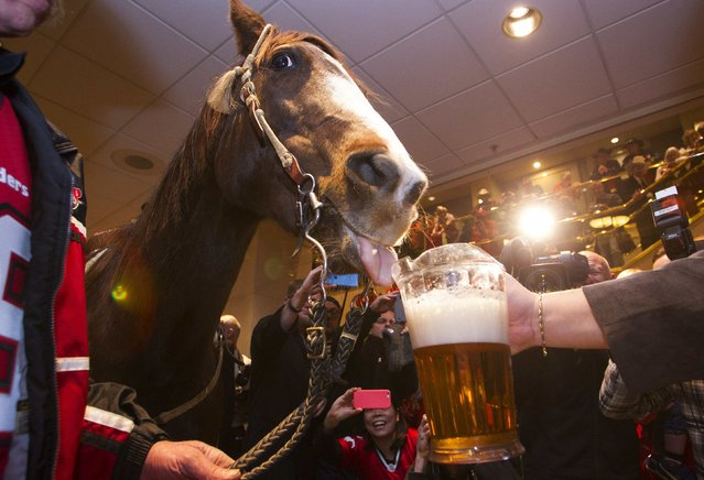 The Calgary Stampeders' horse Tuffy drinks some beer after it rode through the lobby of the Holiday Inn hotel at the CFL's 102nd Grey Cup week in Vancouver, British Columbia, November 28, 2014. It's a long standing tradition that members of the Stampede committee ride a horse in a hotel during Grey Cup week. The Hamilton Tiger Cats will play the Calgary Stampeders on Sunday November 30 for the Canadian football league championship title. (Photo by Ben Nelms/Reuters)