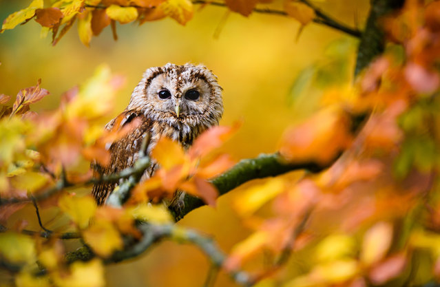 A captive long-eared owl (Strix aluco) sits in the autumn foliage in Masham, North Yorkshire, UK on October 27, 2015. (Photo by Jed Wee/Rex Shutterstock)