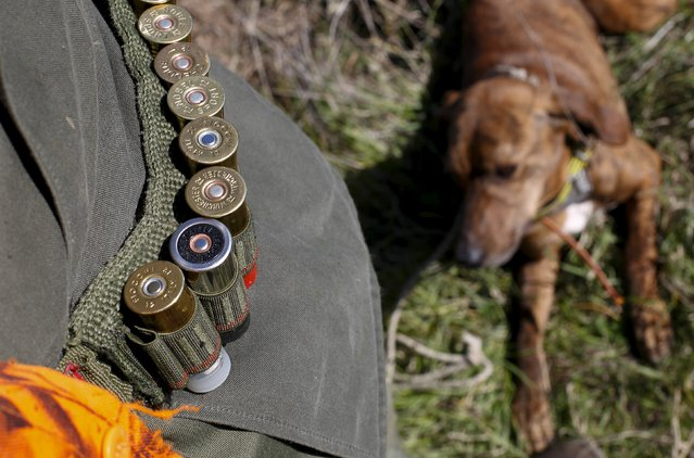 Cartridges and a dog are seen during a hunt in Castell'Azzara, Tuscany, central Italy, October 23, 2015. (Photo by Max Rossi/Reuters)