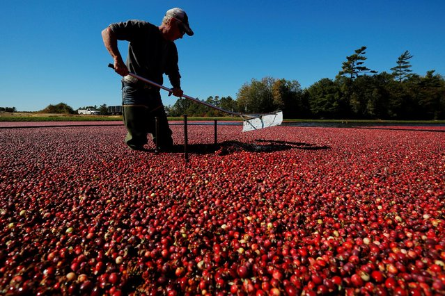 Workers harvest cranberries from one of third-generation farmer Larry Harju's bogs in Carver, Massachusetts, U.S. October 14, 2016. (Photo by Brian Snyder/Reuters)