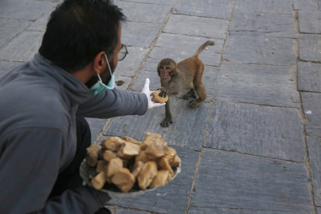 In this Tuesday, March 31, 2020, photo, a Nepalese volunteer feeds monkeys at Pashupatinath temple, the country's most revered Hindu temple, during the lockdown in Kathmandu, Nepal. Guards, staff and volunteers are making sure animals and birds on the temple grounds don't starve during the country's lockdown, which halted temple visits and stopped the crowds that used to line up to feed the animals. (Photo by Niranjan Shrestha/AP Photo)