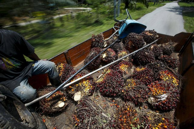 An Indonesian worker sits beside palm oil fruits on a lorry at Felda Bukit Cerakah in the district of Klang, outside Kuala Lumpur in this April 16, 2014 file photo. (Photo by Samsul Said/Reuters)