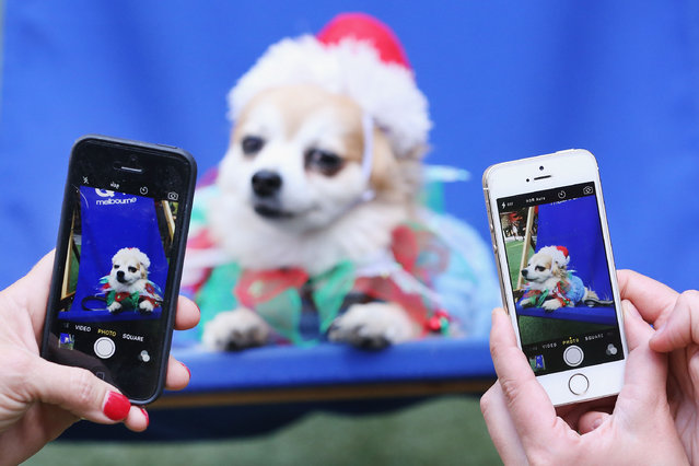 """A Terrier dog poses for photographs at QV Square during the Festive Best Dressed Dog Competition for The Lost Dogs' Home charity screening of """"Best in Show"""" on December 10, 2015 in Melbourne, Australia. (Photo by Michael Dodge/Getty Images)"""