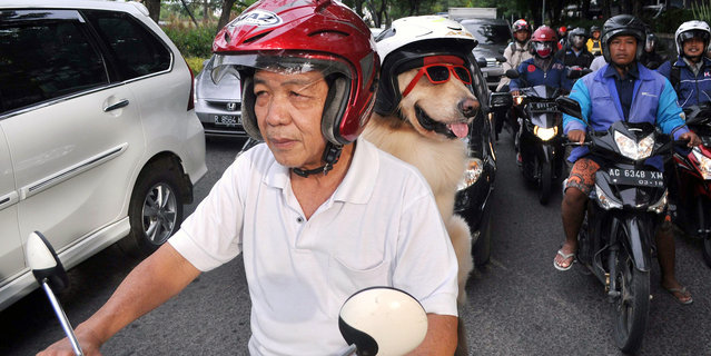 Dog lover Handoko Njotokusumo gets a lot of attention as he rides around the town with Ace, on January 12, 2015, Surabaya, Indonesia. (Photo by Jefta Images/Barcroft Media/ABACAPress)