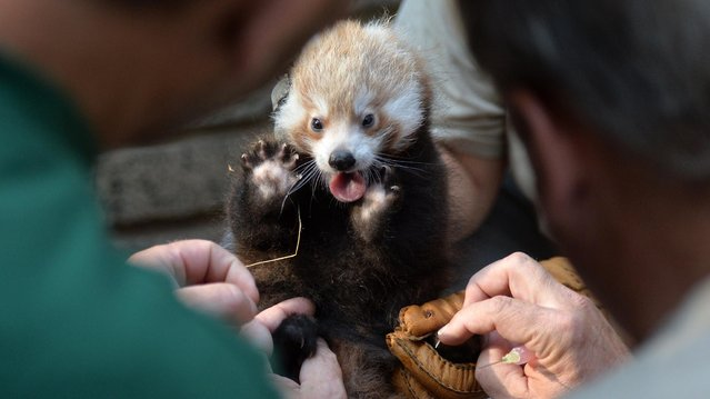 Zoo keepers Juliane Country hold a two-month-old female panda during a prophylaxis on August 22, 2013 at the Zoo in Leipzig, eastern Germany. (Photo by Hendrik Schmidt/AFP Photo/DPA)
