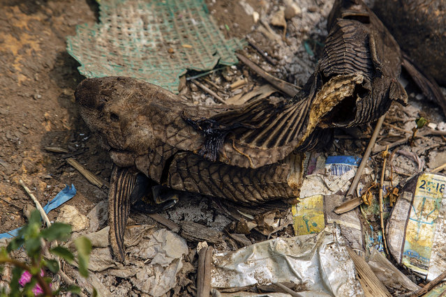 A dead fish sits among plastic trash along the banks of the Citarum river on August 27, 2018 outside Bandung, Java, Indonesia. (Photo by Ed Wray/Getty Images)