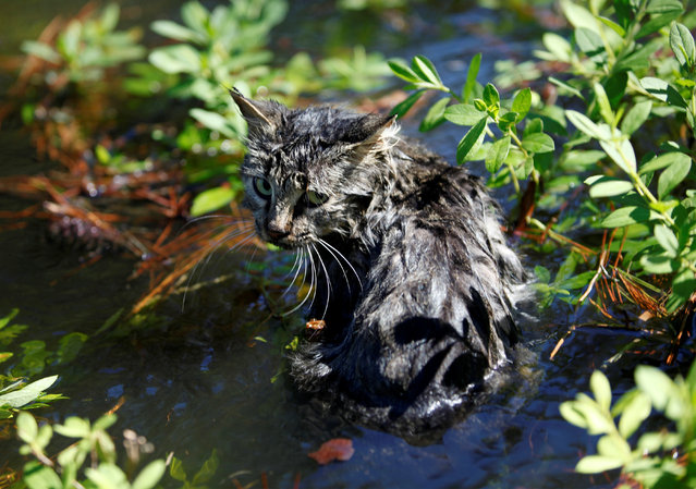 A cat sits in the flooding waters from Hurricane Matthew in downtown Nichols, South Carolina, October 10, 2016. (Photo by Randall Hill/Reuters)