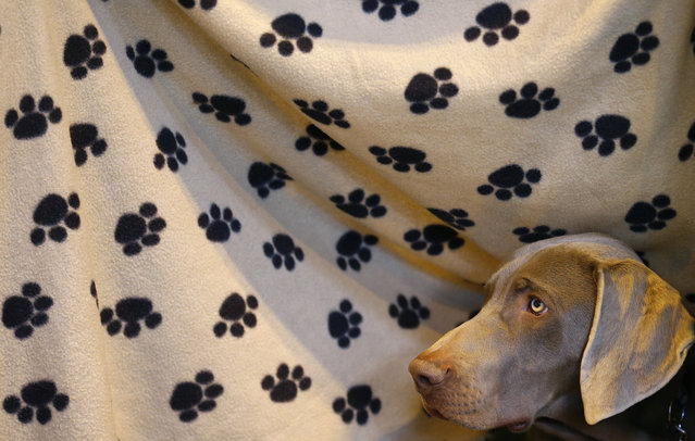 A Weimaraner looks from under a blanket during the first day of the Crufts Dog Show in Birmingham, central England, March 5, 2015. (REUTERS/Darren Staples)