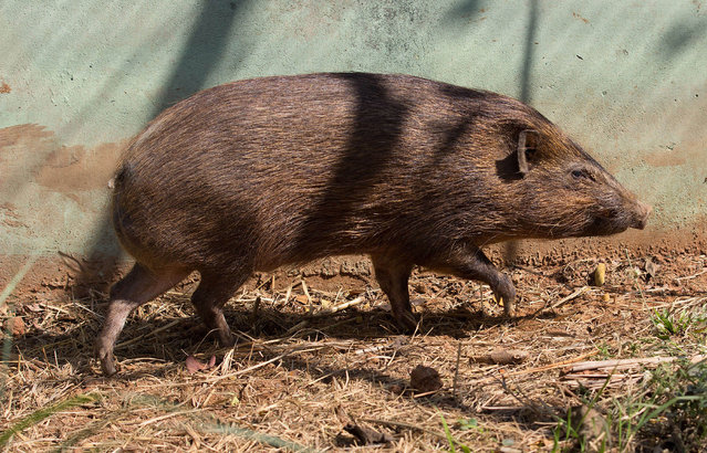 A full-grown Pygmy Hog (Porcula salvania) is seen in Assam State Zoo in Guwahati, capital city of northeastern Assam state, India on March 9, 2015. Assam State Zoo has become the only zoo in the world where Pygmy Hogs have been introduced. Pigmy Hog, a critically endangered suid,  is at the brink of extinction and only a viable population (less than 100) of the species exists in the Assam's Manas Tiger Reserve and Nameri Wildlife Sanctuary. (Photo by Luit Chaliha/ZUMA Press)