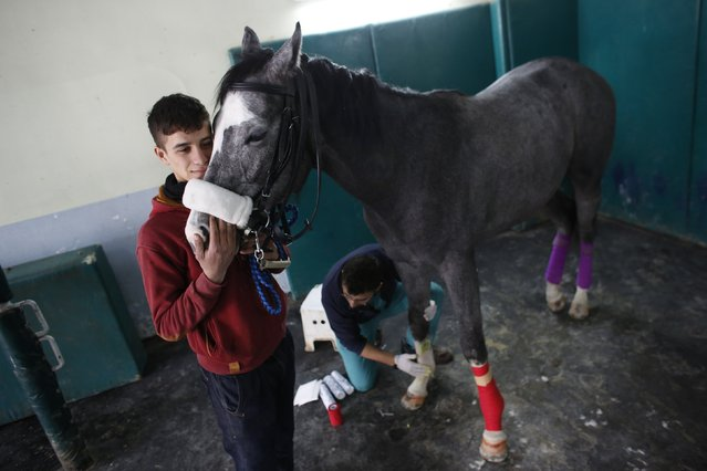 A racehorse is escorted by its groom during treatment at Veliefendi equine hospital in Istanbul March 17, 2015. (Photo by Murad Sezer/Reuters)