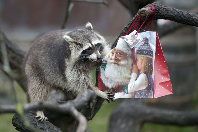 A racoon plays with a christmas present at Hanover Zoo on December 20, 2013 in Hanover, Germany. (Photo by Nigel Treblin/Getty Images)