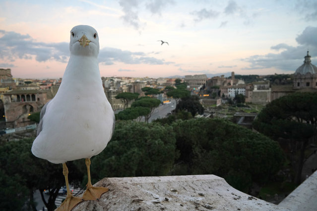 A seagull rests on a wall overlooking Rome's Via Dei Fori Imperiali Avenue with the Colosseum in background, Friday, December 21, 2018. ({hoto by Andrew Medichini/AP Photo)