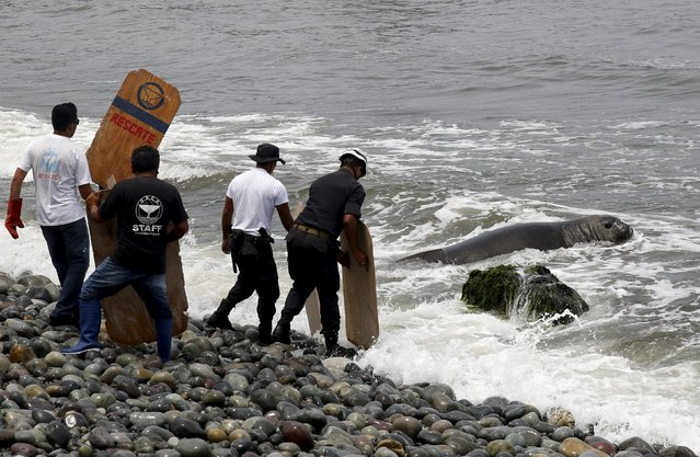 An elephant seal returns to the sea, helped by police and volunteers, after it was found in a sick condition on a beach at Miraflores district of Lima, March 11, 2016. (Photo by Mariana Bazo/Reuters)
