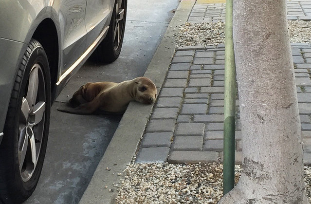 This photo provided by The Marine Mammal Center shows a stranded sea lion pup lying next to a car on a San Francisco street Thursday, April 30, 2015. Video from The Marine Mammal Center in nearby Sausalito shows the male sea lion nicknamed Rubbish hiding under a car and waddling away from rescuers. They eventually got a net around the pup, moved it into a crate and took it to the center. (Photo by Adam Ratner/The Marine Mammal Center via AP Photo)