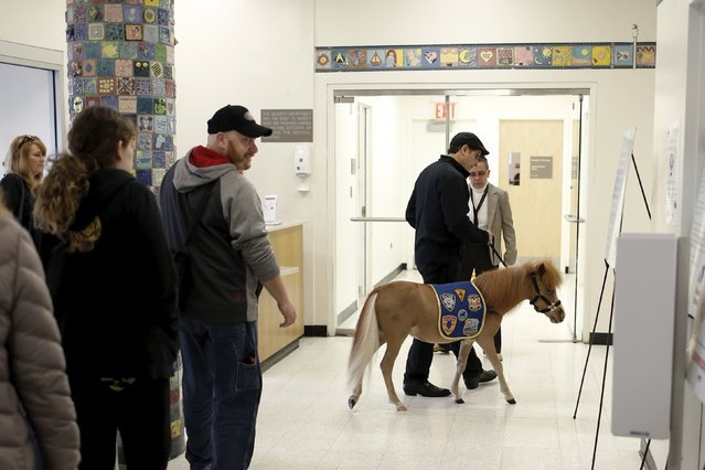 Handler Jorge Garcia-Bengochea walks Honor, a miniature therapy horse from Gentle Carousel Miniature Therapy Horses, through the hallway during a visit with patients at the Kravis Children's Hospital at Mount Sinai in the Manhattan borough of New York City, March 16, 2016. (Photo by Mike Segar/Reuters)