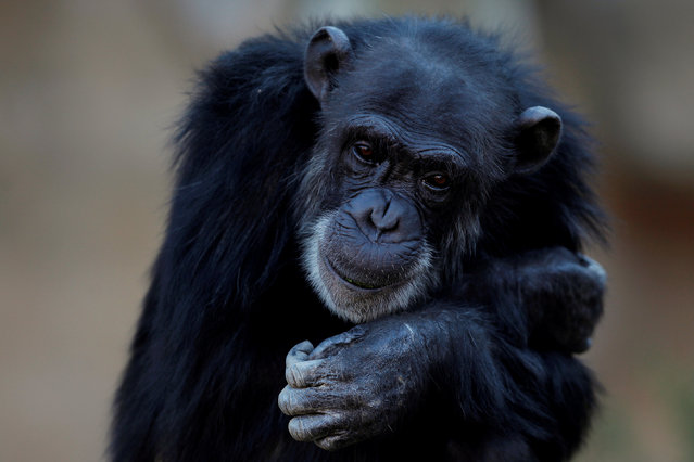 A chimpanzee (Pan troglodytes), looks on in its enclosure at Bioparc Fuengirola in Fuengirola, near Malaga, southern Spain, February 8, 2017. (Photo by Jon Nazca/Reuters)