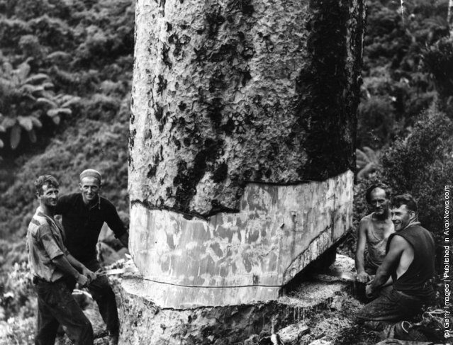 1930: Four smiling bushmen saw down a kauri tree