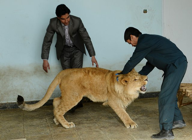 Afghan zookeeper Qurban Ali (R), 40, plays with male lion Marjan at Kabul Zoo in Kabul on March 18, 2014. Staff at Kabul Zoo unveiled its new star attraction Marjan the lion, who lived on a private rooftop in the city until being rescued by animal welfare officials in October 2013 from a businessman who reportedly paid $20,000 for the animal. (Photo by Shah Marai/AFP Photo)