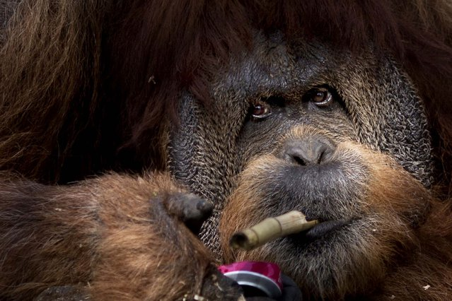Mushon, 45, a Sumatran Orangoutang plays with a piece of bamboo and a tin can in the  Tel Aviv Ramt Gan Zoological Center near Tel Aviv, Israel, Sunday, March 23, 2014. (Photo by Ariel Schalit/AP Photo)