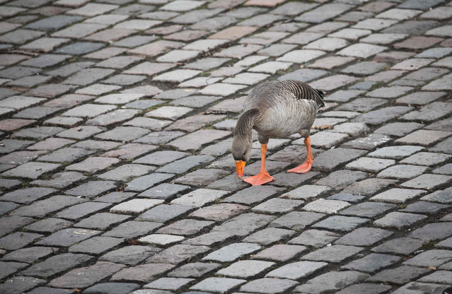 A goose walks along a street, presumably looking for moss inbetween the stones in Frankfurt/ Main, Germany, 7 March 2017. (Photo by Frank Rumpenhorst/DPA)