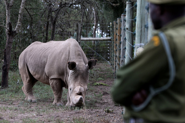 A wildlife ranger keeps guard as a northern white rhino, only three of its kind left in the world, moves in an enclosed and constantly protected perimeter ahead of the Giants Club Summit of African leaders and others on tackling poaching of elephants and rhinos, Ol Pejeta conservancy near the town of Nanyuki, Laikipia County, Kenya, April 28, 2016. (Photo by Siegfried Modola/Reuters)