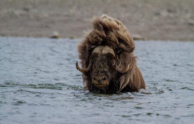 Wild Musk Oxen in Arctic Prairie in Russia