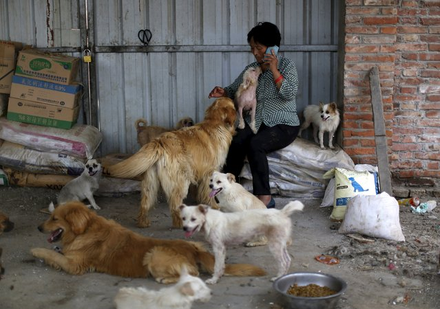 Dog lover Yang Xiaoyun holds a dog which she purchased in China's southern town of Yulin,  at her shelter for dogs in Tianjin, China, July 8, 2015. Yang said she spent 300,000 RMB (48,248 USD) to purchase 500 dogs to rescue them from dog meat dealers at Yulin's annual dog meat festival last month. She keeps more than 1,000 dogs in her shelters, mostly abandoned or she purchased from dog meat traders. (Photo by Kim Kyung-Hoon/Reuters)