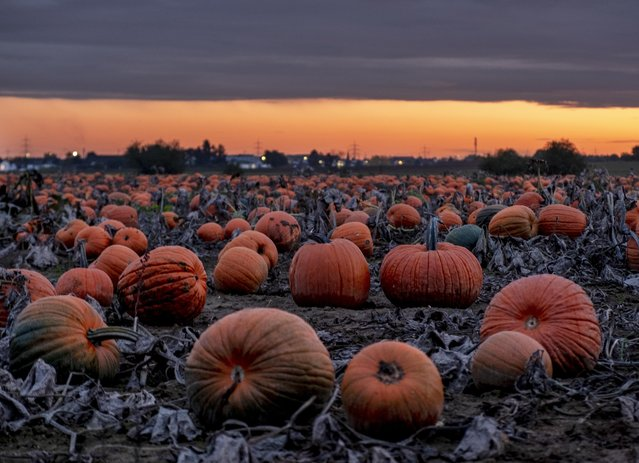 Hundreds of pumpkins lie on a field near Frankfurt, Germany, after sunset on Wednesday, October 16, 2019. The autumn vegetable heralds the approach of halloween. (Photo by Michael Probst/AP Photo)