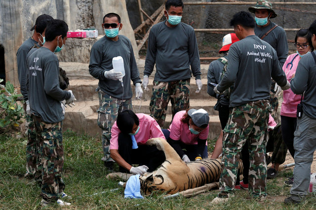 A sedated tiger is stretchered as officials start moving tigers from Tiger Temple,  May 30, 2016. (Photo by Chaiwat Subprasom/Reuters)