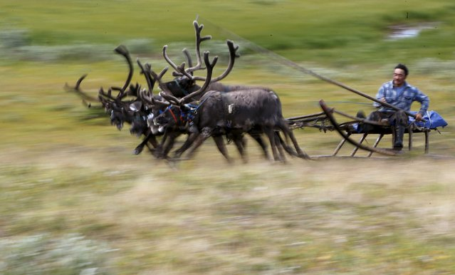 A Nenets man rides a reindeer sledge during a competition to mark Reindeer Day at a camping ground, some 200 km (124 miles) northeast of Naryan-Mar, the administrative centre of Nenets Autonomous Area, far northern Russia, August 2, 2015. (Photo by Sergei Karpukhin/Reuters)