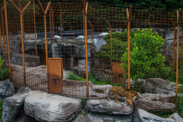 Sumatran tiger, Denmark, 2016. (Photo by Jo-Anne McArthur/Born Free Foundation/The Guardian)