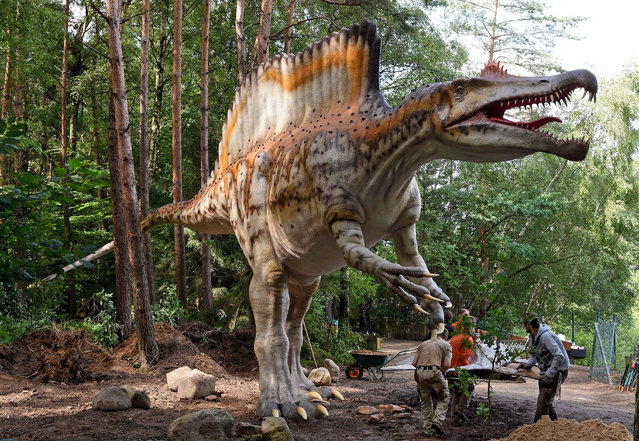 A picture made available in 01 July 2016 shows a 16-meter-long and 6.5-meter-high model of a Spinosaurus installed by employees of the dinosaur park in Muenchenhagen in the region of Hannover, Germany, 28 June 2016. The model is considered the only replica of this dinosaur species worldwide. The outdoor museum at Lake Steinhude shows more than 230 true-to-scale replica of dinosaurs. (Photo by Holger Hollemann/EPA)