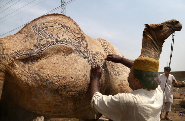 A vendor decorates a sacrificial camel ahead of the Eid al-Adha festival, in Karachi, Pakistan, 23 August 2016. Eid al-Adha is the holiest of the two Muslims holidays celebrated each year, with this year will be celebrated on 02nd September. Eid al-Adha marks the yearly Muslim pilgrimage (Hajj) to visit Mecca, the holiest place in Islam. Muslims slaughter a sacrificial animal and split the meat into three parts, one for the family, one for friends and relatives, and one for the poor and needy. (Photo by Rehan Khan/EPA)