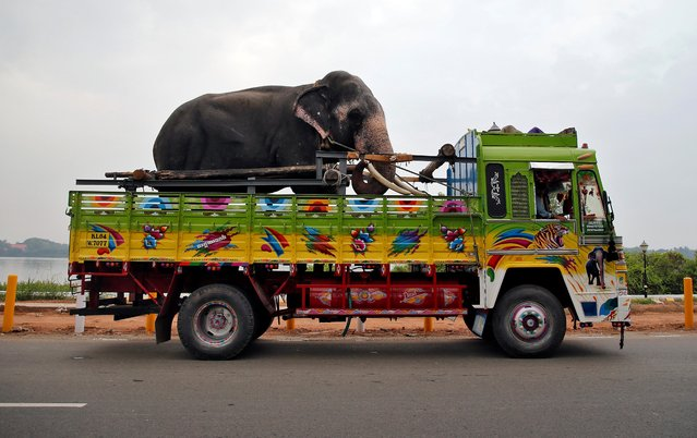 A male elephant named Mahadevan is tied in a truck as he is being transported for an annual temple festival in Kochi, India, March 10, 2020. (Photo by Sivaram V/Reuters)