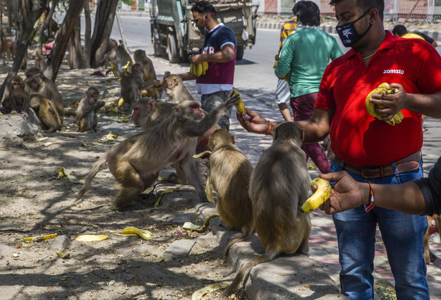 Men give bananas to monkeys gathered on the side of the road as India remains under an unprecedented lockdown over the highly contagious coronavirus (COVID-19) on April 08, 2020 in New Delhi, India. Wild animals, including monkeys, are roaming human settlements in India as people are staying indoors due to the 21-day lockdown. With India's 1.3 billion population and tens of millions of cars off the roads, wildlife is moving towards areas inhabited by humans. Wild animals in many countries have been seen roaming streets. A study says some 60 percent of the new diseases found around the globe every year are zoonotic, meaning they originate in animals and are passed on to humans. COVID-19 is a zoonotic disease that is suspected to have come from the wet markets of Wuhan, China. (Photo by Yawar Nazir/Getty Images)