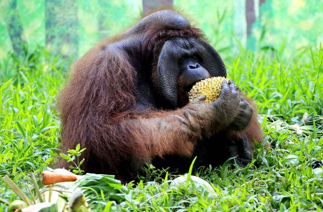 Bali Zoo's Orangutan, Jacky celebrates his 37th birthday eating fruit in Gianyar, Bali, Indonesia, September 4, 2014. Jacky has lived at the Bali Zoo for the past 11 years. (Photo by Firdia Lisnawati/AP Photo/SIPA Press)