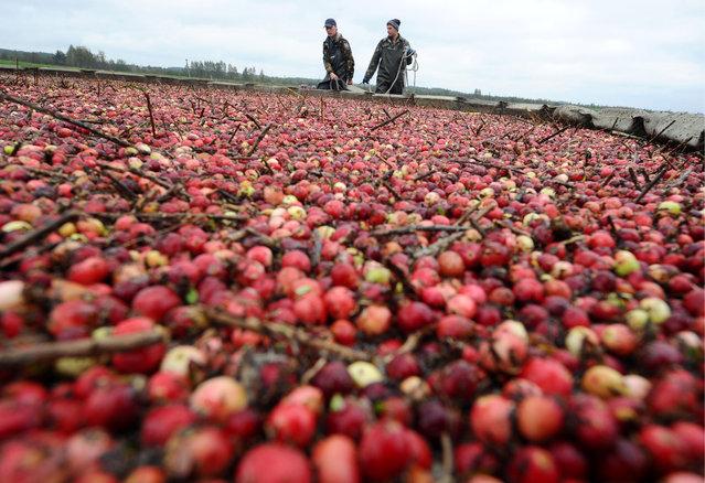 Cranberries are harvested from a field at the Polesskiye Zhuraviny farm in Sielishcha, Brest Region, Belarus on October 07, 2017 (Photo by Viktor Drachev/TASS via Getty Images)