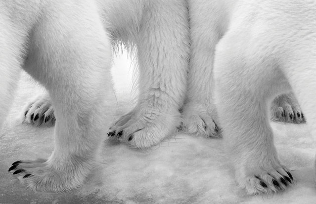 """Black and White category. Polar Pas de Deux by Eilo Elvinger, Luxembourg. From her ship anchored off Svalbard, in Arctic Norway, Eilo spotted a polar bear and her two- year-old cub in the distance, slowly drawing closer. Nearing the ship, they were diverted to a patch of snow soaked in leakage from the vessel's kitchen and began to lick it. """"I was ashamed of our contribution to the immaculate landscape,"""" says Eilo, """"and of how this influenced the bears' behaviour"""". (Photo by Eilo Elvinger/Wildlife Photographer of the Year 2017)"""