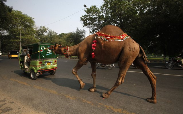 Men lead a recently-purchased camel by rickshaw, ahead of Eid al-Adha celebrations in Lahore October 3, 2014. Muslims around the world celebrate Eid al-Adha by the sacrificial killing of sheep, goats, cows and camels to commemorate Prophet Abraham's willingness to sacrifice his son Ismail on God's command. (Photo by Mohsin Raza/Reuters)