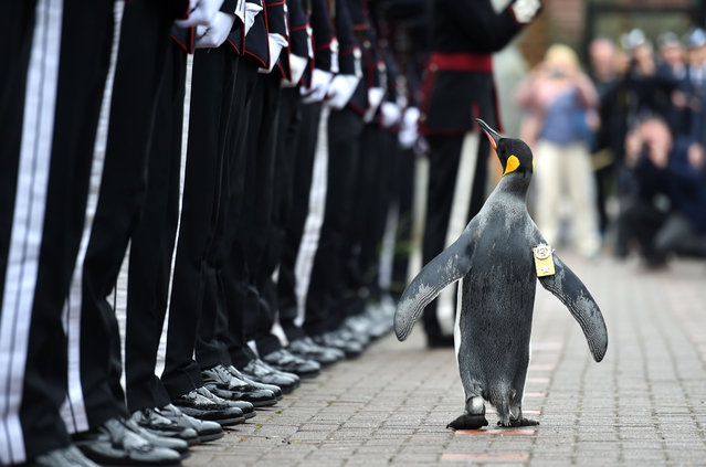 "In a handout picture released by the British Ministry of Defence via their Defence News Imagery website on August 22, 2016, Nils Olav the penguin inspects the Guard of Honour formed by His Majesty the King of Norway's Guard on August 22, 2016 at Edinburgh Zoo in Scotland. His Majesty the King of Norway's Guard paid a very special visit to RZSS Edinburgh Zoo to bestow a unique honour upon resident king penguin Sir Nils Olav. Already a knight, the most famous king penguin in the world was given the new title of ""Brigadier Sir Nils Olav"". (Photo by Mark Owens/AFP Photo)"