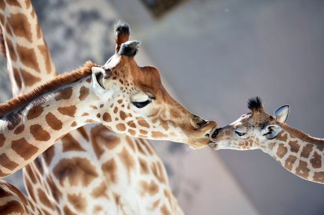 "Baby giraffe of Niger (Giraffa Camelopardalis) ""Kenai"" (R), born on August 25, 2016, kisses his mother ""Dioni"" on August 31, 2016 at the zoo of La Fleche, northwestern France. (Photo by Jean-Francois Monier/AFP Photo)"