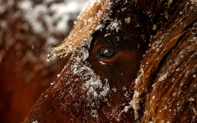 Horses are seen in the snow in Kaufbeuren, Germany December 10, 2017. (Photo by Michaela Rehle/Reuters)