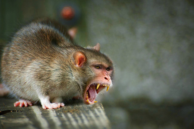 Cross between a rat and a macaque – Rankey. (Photo by Sarah DeRemer/Caters News)